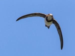 Rondone maggiore; Alpine Swift; Apus melba