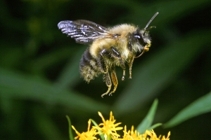 11734_Bee-in-Flight-Edit-1000