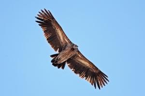 Juvenile_Himalayan_Griffon_Vulture_(Gyps_himalayensis)
