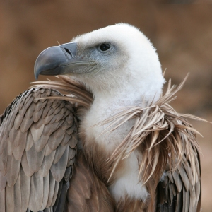 Eagle_beak_sideview_A