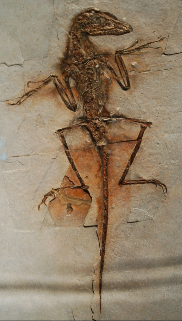 Sinornithosaurus_Dave_NGMC91